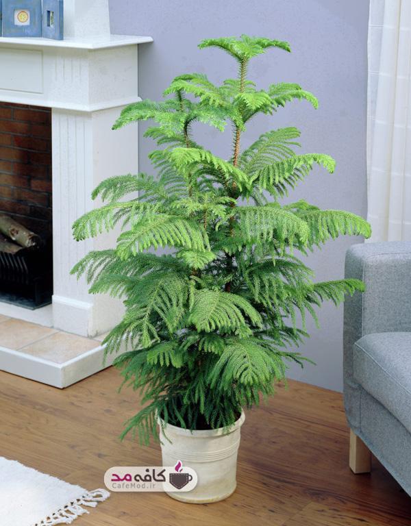 درختچههای آپارتمانی