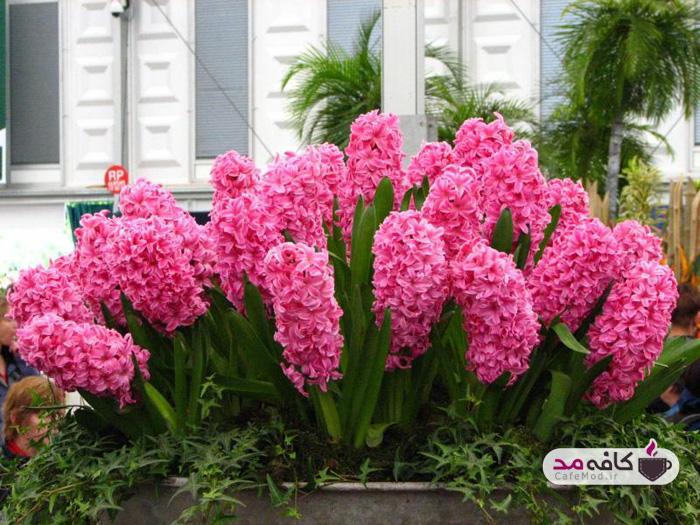 گل سوسن یا اسپاتیا فیلوم
