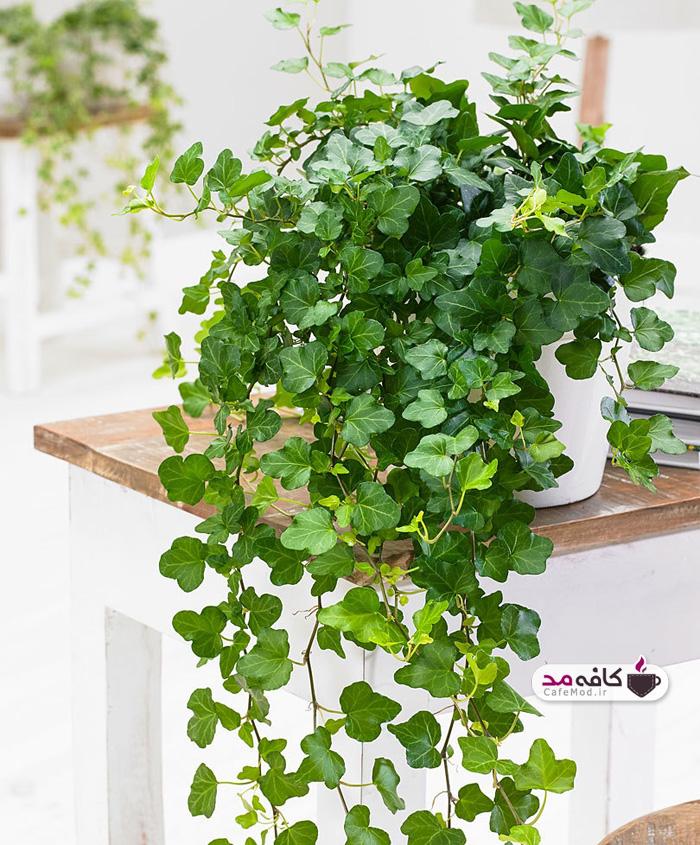 گیاه عشقه همیشه سبز یا پاپیتال
