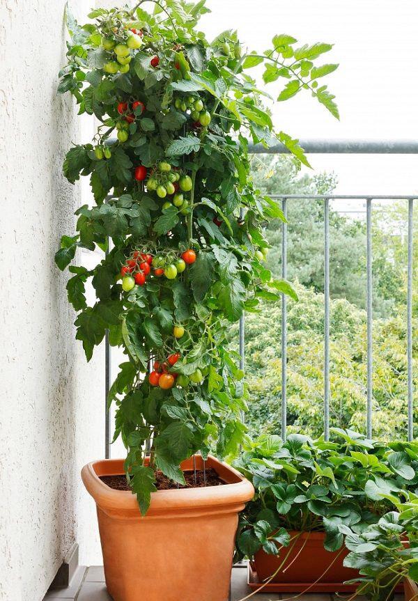 گیاهان بالکنی